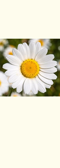 April's Birth Flower: The Daisy