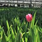Tulip Shoppe