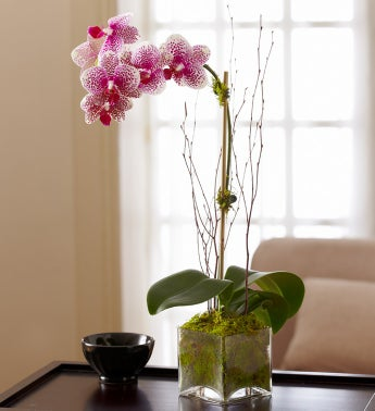 Blushing Pink Orchid