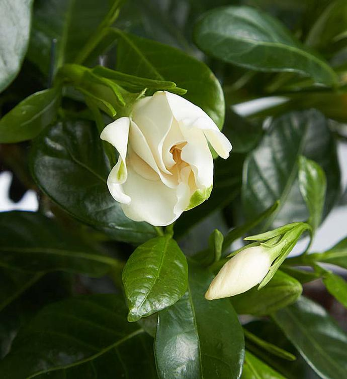 Gardenia Bonsai 6-Year Specimen