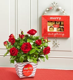 Merry Everything Rose Plant
