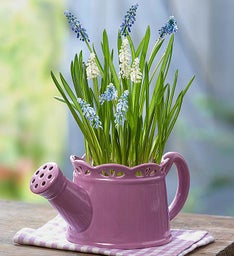 Watering Can Muscari Mix + Free Gloves