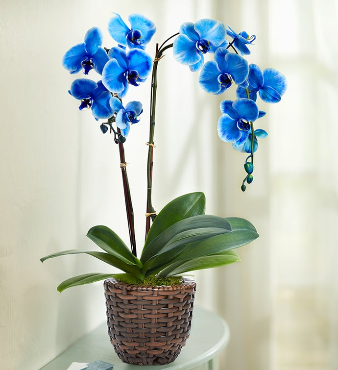Beautiful Blue Phalenopsis Orchid
