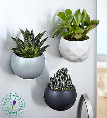 Magnetic Succulent Trio by Real Simple®
