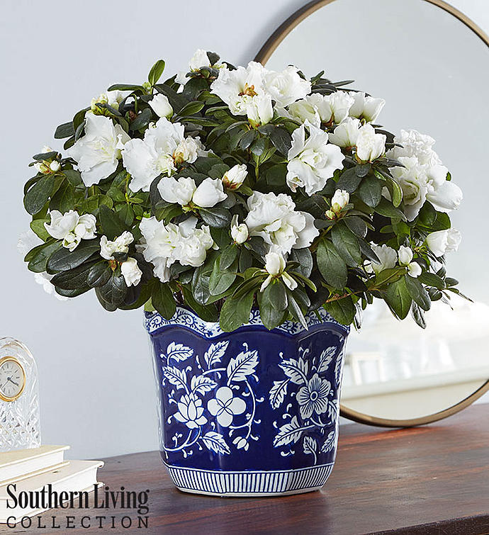 White Azalea for Southern Living® Sympathy