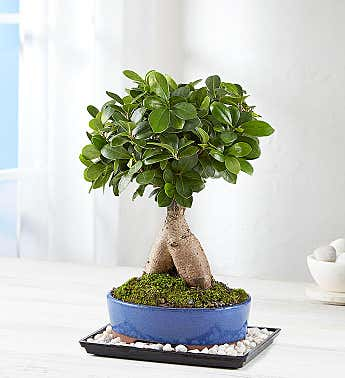 Ginseng Grafted Ficus