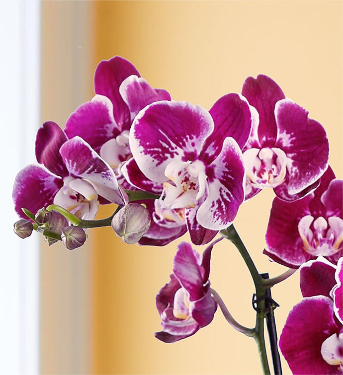 Grand Majesty Orchid
