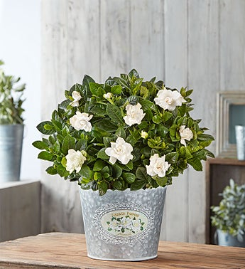 Graceful Gardenia Plant
