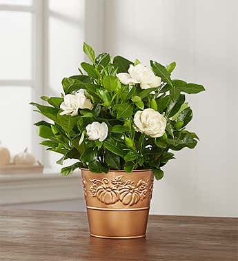 Autumn Gathering Gardenia