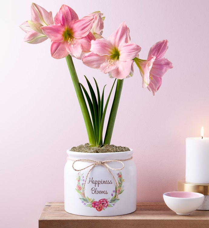 Happiness Blooms Pink Amaryllis