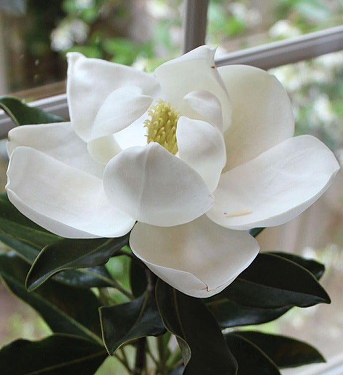 Magnolia Tree for Sympathy