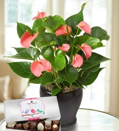 Pink Hearts Anthurium