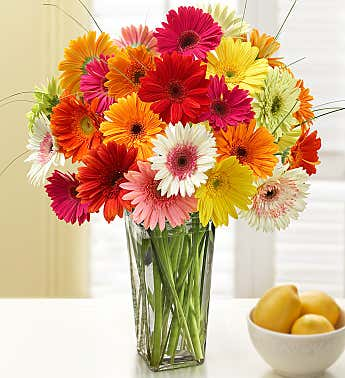 Happy Gerbera Daisies, 12 - 24 Stems